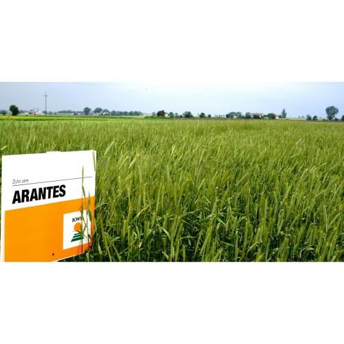 żyto przewódkowe Arantes